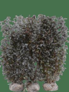 Solbærspirea 'Diabolo'