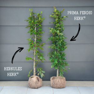 HERKULES HEKK vs. PRIMA FERDIG HEKK
