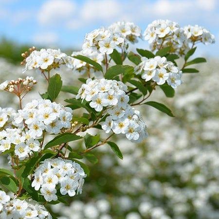 Spirea vanhouttei blomster