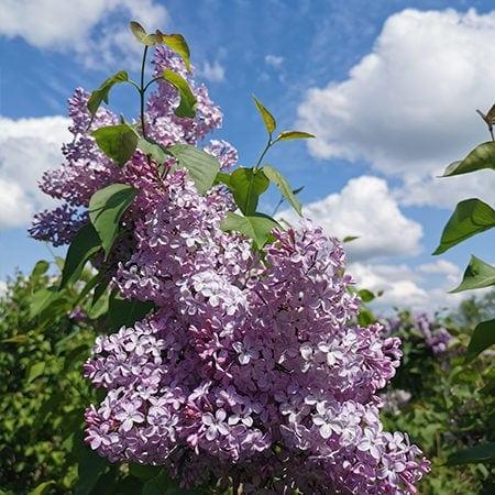 Syrin blomster