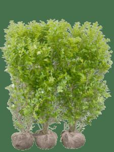 Liguster Green Diamond